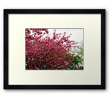 Deep Pink Tree Blossoms Framed Print