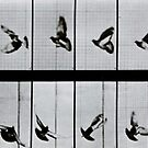 Flying bird, plate 756 from 'Animal Locomotion', 1887 by Bridgeman Art Library