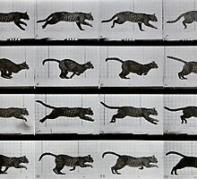 Cat running, plate 720 from 'Animal Locomotion', 1887 by Bridgeman Art Library