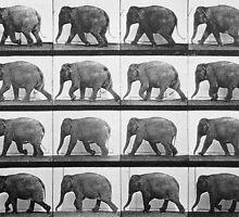 Elephant walking, plate 733 from 'Animal Locomotion', 1887  by Bridgeman Art Library