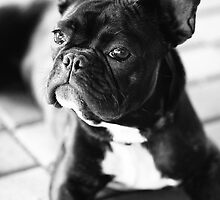 French Bulldog by Falko Follert