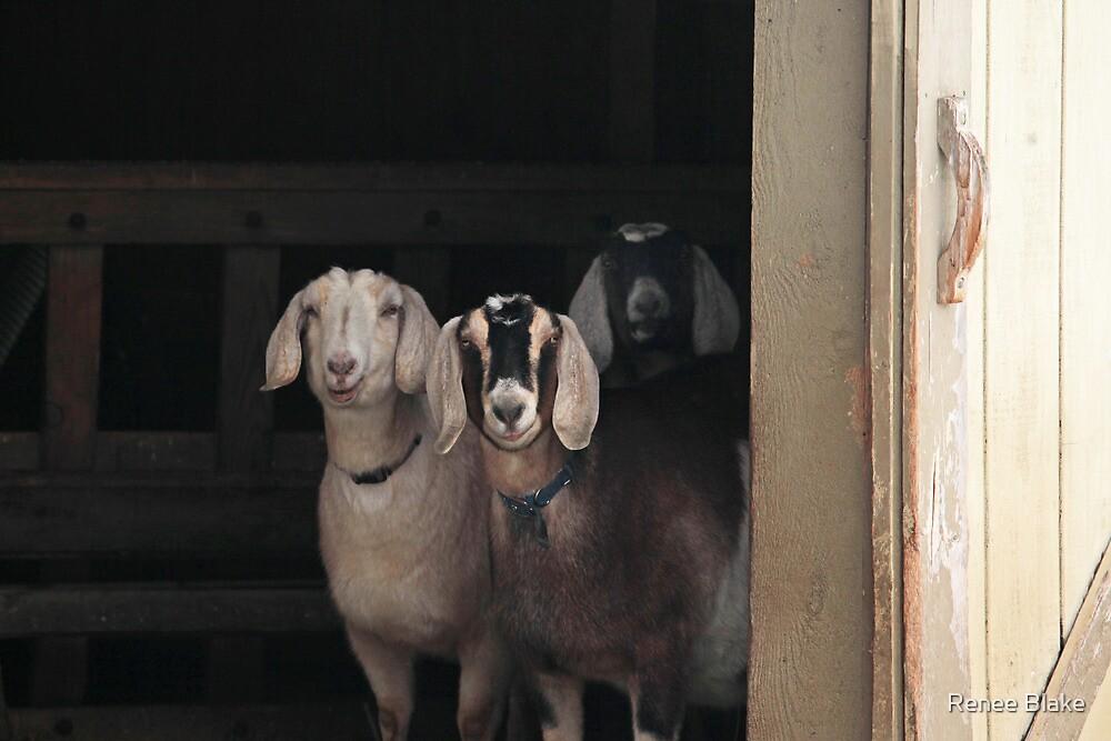 Goats ~ by Renee Blake