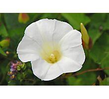 White Morning Glory (Field Bindweed) Photographic Print