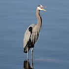 The Laughing Blue Heron... by Gregg Williams