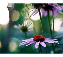purple coneflower Photographic Print