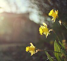 spring daffodils by kelly ishmael