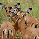 ARE WE SAFE HERE - BABY  IMPALA – Aepyceros melampus melampus - *ROOIBOK* by Magaret Meintjes