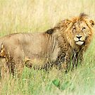 I HATE CAMERAS! - THE LION – Panthera leo - LEEU by Magaret Meintjes