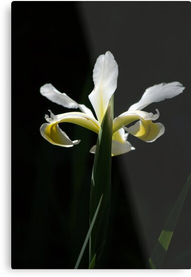 Iris in White and Yellow by Lozzar Flowers & Art
