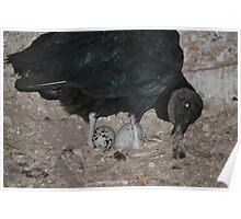 Black vulture in the Dunn main barn Poster