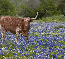 Texas Longhorn in a field of Bluebonnets by RobGreebonPhoto