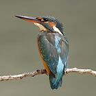 Kingfisher 6 by Jose Santamaria