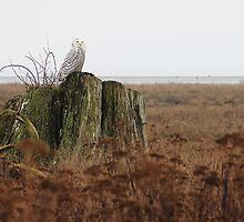 Snowy Owl at Boundary Bay by Tracy Friesen