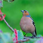 Chaffinch, County Kilkenny, Ireland by Andrew Jones