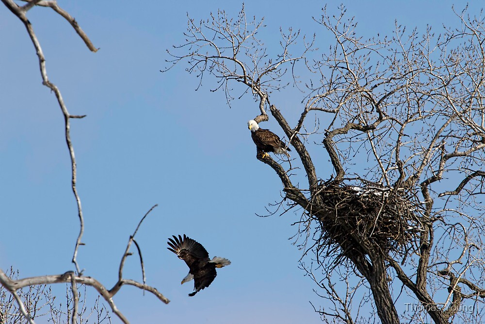 Nesting Pair of American Bald Eagles 2 by Thomas Young