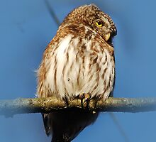 Pygmy Owl by Joey Kuipers