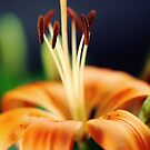 Flower Lily by Falko Follert