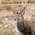 Red Deer Stag by M.S. Photography/Art
