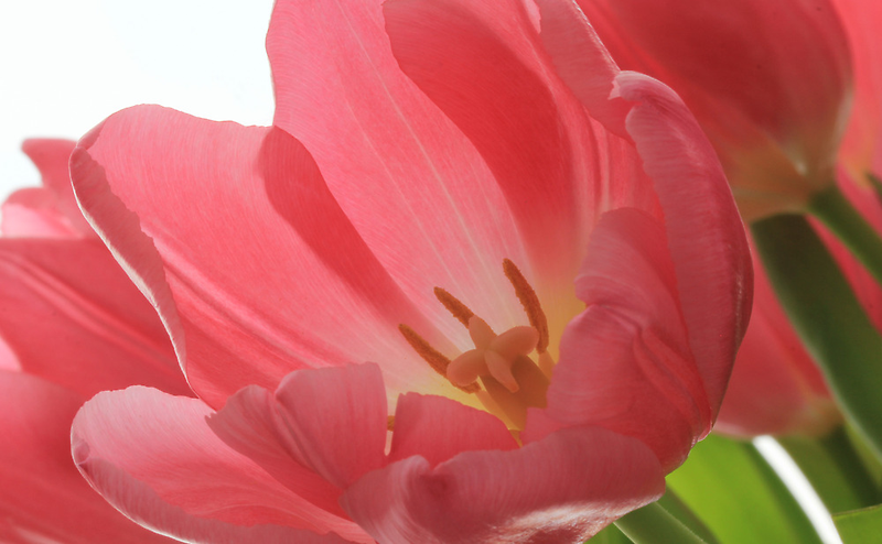 Pink Tulips by Lynn Gedeon