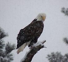Eagle Glare by BettyEDuncan