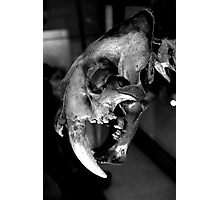 Sabre-toothed Cat Skull Photographic Print