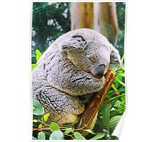 Sleeping Koala Bear Poster