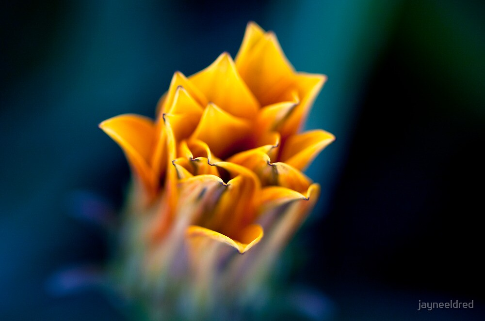 True Blue Gazania by jayneeldred