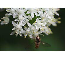Fleurs d'oignon 1 - Onion flower 1 Photographic Print