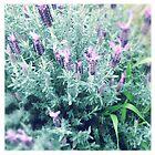 Lavender by EKingPhotoArt