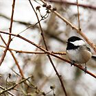 Chickadee by Tracy Friesen