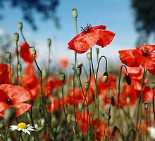 Poppies by Falko Follert