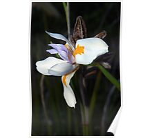 Wild iris and pods Poster
