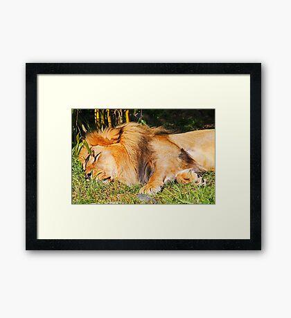 Sleeping Lion Framed Print