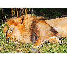 Sleeping Lion Photographic Print