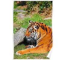 Tiger Laying Down Poster