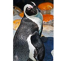 Posing Penguin Photographic Print