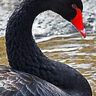 Curved Black Swan by Darrick Kuykendall