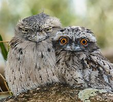 Frogmouths. by James Peake Nature Photography.