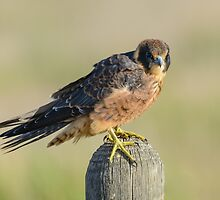 Hobby. by James Peake Nature Photography.