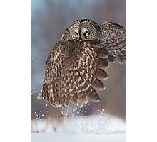 The Caped Crusader - Great Gray Owl. Photographic Print