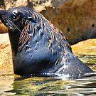 Fur seal by andreisky