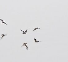 Oystercatchers by Country  Pursuits