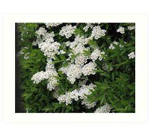 Pretty White Spiraea Blossoms  Art Print