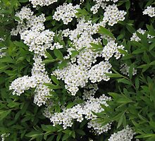Pretty White Spiraea Blossoms  by BlueMoonRose