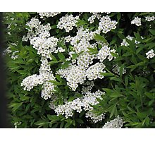 Pretty White Spiraea Blossoms  Photographic Print