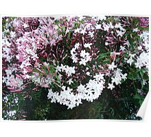 Beautiful Jasmine Flowers In Full Bloom Poster