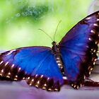 Blue Butterfly © by GardenJoy