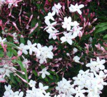Beautiful Jasmine Flowers In Full Bloom Sticker