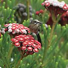 Cape Sugarbird by croust