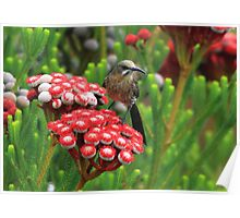 Cape Sugarbird Poster